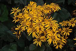 Britt Marie Crawford Rayflower (Ligularia dentata 'Britt Marie Crawford') at GardenWorks