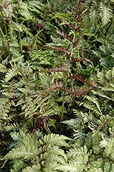 Japanese Painted Fern (Athyrium nipponicum 'Metallicum') at GardenWorks