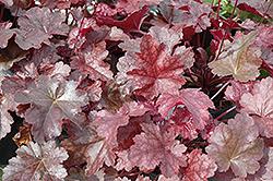 Sparkling Burgundy Coral Bells (Heuchera 'Sparkling Burgundy') at GardenWorks