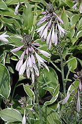 Francee Hosta (Hosta 'Francee') at GardenWorks