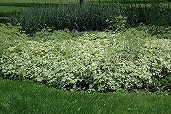 Variegated Bishop's Goutweed (Aegopodium podagraria 'Variegata') at GardenWorks