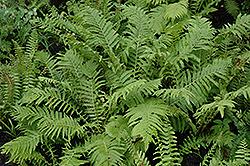 Christmas Fern (Polystichum acrostichoides) at GardenWorks