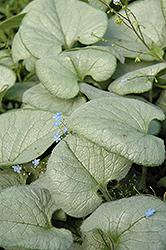 Looking Glass Bugloss (Brunnera macrophylla 'Looking Glass') at GardenWorks