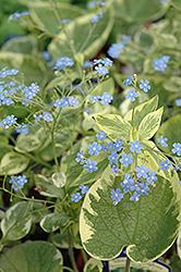 Hadspen Cream Bugloss (Brunnera macrophylla 'Hadspen Cream') at GardenWorks