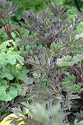Hillside Black Beauty Bugbane (Cimicifuga racemosa 'Hillside Black Beauty') at GardenWorks