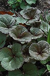 Dark Beauty Rayflower (Ligularia dentata 'Dark Beauty') at GardenWorks