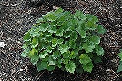 Forest Frost Fringecups (Tellima grandiflora 'Forest Frost') at GardenWorks