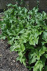 Italian Arum (Arum italicum) at GardenWorks