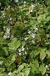 White Bishop's Hat (Epimedium x youngianum 'Niveum') at GardenWorks