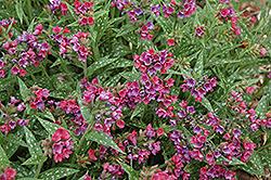 Raspberry Splash Lungwort (Pulmonaria 'Raspberry Splash') at GardenWorks