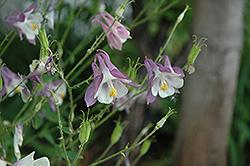 Common Columbine (Aquilegia vulgaris) at GardenWorks