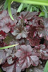 Midnight Rose Coral Bells (Heuchera 'Midnight Rose') at GardenWorks