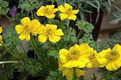 Dwarf Globeflower (Trollius pumilus) at GardenWorks