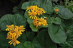 Desdemona Rayflower (Ligularia dentata 'Desdemona') at GardenWorks