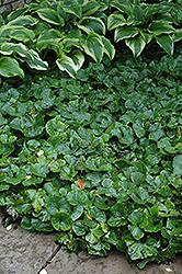 Canadian Wild Ginger (Asarum canadense) at GardenWorks
