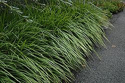 Lily Turf (Liriope spicata) at GardenWorks