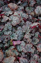 Raspberry Ice Coral Bells (Heuchera 'Raspberry Ice') at GardenWorks