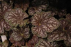 Beauty of Color Coral Bells (Heuchera 'Beauty of Color') at GardenWorks
