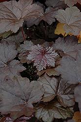 Blackout Coral Bells (Heuchera 'Blackout') at GardenWorks