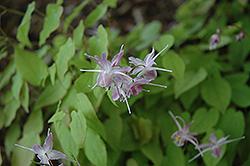 Bishop's Hat (Epimedium x cantabrigiense) at GardenWorks