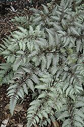 Silver Falls Painted Fern (Athyrium nipponicum 'Silver Falls') at GardenWorks
