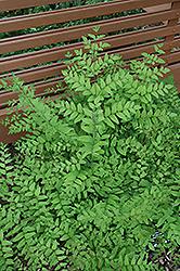 Purpleleaf Royal Fern (Osmunda regalis 'Purpurascens') at GardenWorks