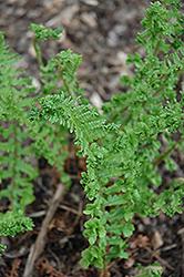 Crinkled Male Fern (Dryopteris filix-mas 'Crispatissima') at GardenWorks