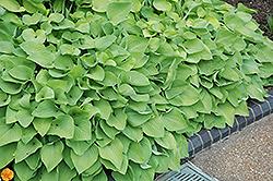 Birchwood Parky's Gold Hosta (Hosta 'Birchwood Parky's Gold') at GardenWorks