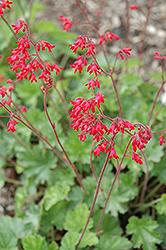 Ruby Bells Coral Bells (Heuchera sanguinea 'Ruby Bells') at GardenWorks