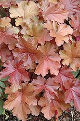 Mahogany Coral Bells (Heuchera 'Mahogany') at GardenWorks