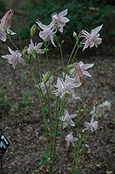 Spezialrasse Columbine (Aquilegia 'Spezialrasse') at GardenWorks
