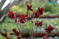 Ruby Port Double Columbine (Aquilegia vulgaris 'Ruby Port') at GardenWorks