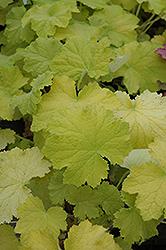 Pistache Coral Bells (Heuchera 'Pistache') at GardenWorks