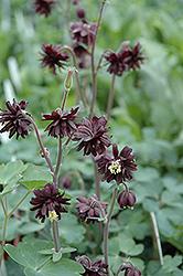 Black Barlow Columbine (Aquilegia vulgaris 'Black Barlow') at GardenWorks