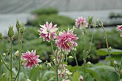 Nora Barlow Columbine (Aquilegia vulgaris 'Nora Barlow') at GardenWorks
