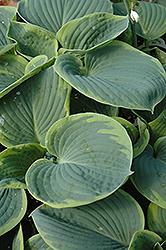 Olive Bailey Langdon Hosta (Hosta 'Olive Bailey Langdon') at GardenWorks