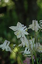 McKana White Columbine (Aquilegia 'McKana White') at GardenWorks
