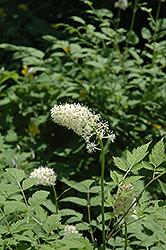 White Baneberry (Actaea pachypoda) at GardenWorks