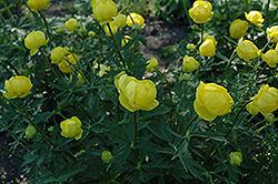 Lemon Queen Globeflower (Trollius x cultorum 'Lemon Queen') at GardenWorks