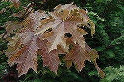 Mocha Rose Big Leaf Maple (Acer macrophyllum 'Mocha Rose') at GardenWorks