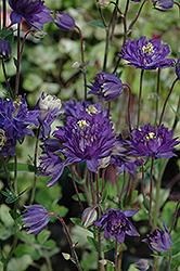 Clememtine Blue Columbine (Aquilegia vulgaris 'Clementine Blue') at GardenWorks