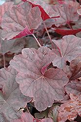 Venus Coral Bells (Heuchera 'Venus') at GardenWorks