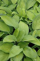Gold Standard Hosta (Hosta 'Gold Standard') at GardenWorks