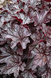 Dolce Black Currant Coral Bells (Heuchera 'Black Currant') at GardenWorks