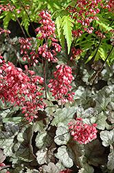 Dolce Mocha Mint Coral Bells (Heuchera 'Mocha Mint') at GardenWorks