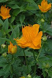 Golden Queen Globeflower (Trollius chinensis 'Golden Queen') at GardenWorks