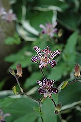 Empress Toad Lily (Tricyrtis 'Empress') at GardenWorks