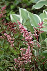 Key Largo Astilbe (Astilbe simplicifolia 'Key Largo') at GardenWorks