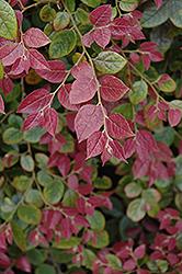 Razzleberri Fringeflower (Loropetalum chinense 'Razzleberri') at GardenWorks