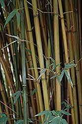 Candy Cane Bamboo (Himalayacalamus falconeri 'Damarapa') at GardenWorks